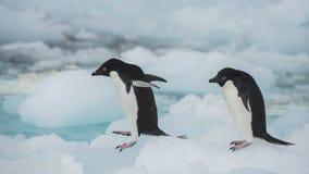 在冰山的Adelie企鹅 库存图片