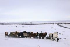 在冰岛、冷的雪和风的马 库存照片