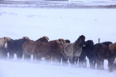 在冰岛、冷的雪和风的马 免版税库存图片