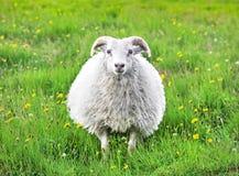 在冰岛凝视入照相机的逗人喜爱的绵羊 库存照片