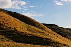 在冰岛小山的绵羊 免版税库存图片