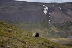 在冰岛山的两只绵羊 免版税图库摄影