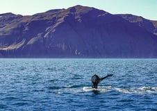 在冰岛海岸的鲸鱼潜水在胡萨维克附近 库存照片