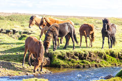 在冰岛的一个绿色领域的马 免版税库存照片