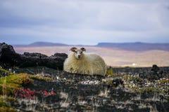 在冰岛的孤独的绵羊 免版税图库摄影