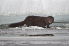 在冰川之间的貂皮 库存图片