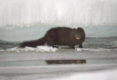 在冰川之间的貂皮 图库摄影