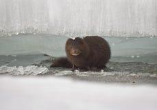在冰川之间的貂皮 免版税库存照片