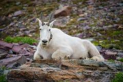 在冰川国家公园的一只落矶山脉山羊 库存照片