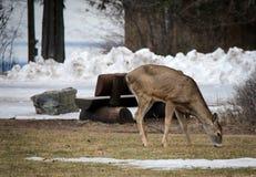 在冰川国家公园的鹿 库存照片