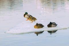 在冰川特写镜头,在河的流冰的困四只休息的鸭子 城市伦敦冬天 季节 到来  免版税库存照片