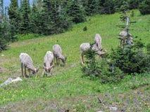 在冰川百合中的大垫铁公羊在摇石在冰川国家公园蒙大拿通过 库存照片