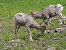在冰川百合中的大垫铁公羊在摇石在冰川国家公园蒙大拿通过 免版税库存照片