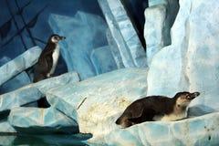 在冰川的两只企鹅 免版税库存照片