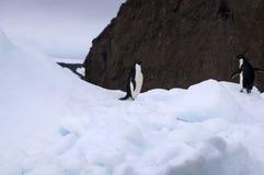 在冰川的两只阿德力企鹅企鹅 库存图片