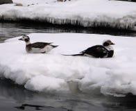在冰川的鸭子 库存图片