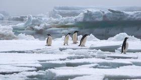 在冰川的Adelie企鹅在南极洲 免版税图库摄影