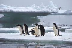 在冰川的Adelie企鹅在南极洲 库存照片