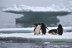 在冰川的Adelie企鹅在南极洲 库存图片