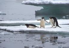 在冰川的Adelie企鹅在南极洲 免版税库存照片