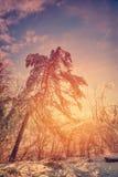 在冰川覆盖的树后的太阳焕发 免版税库存图片
