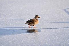 在冰川覆盖的河的走的鸭子 免版税库存照片