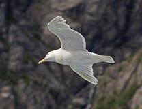 在冰河海湾,阿拉斯加的高昂海鸥 免版税库存图片