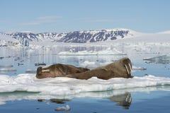 在冰流程的海象 免版税图库摄影