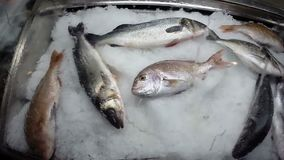 在冰特写镜头的新鲜的未加工的地中海鱼 股票录像