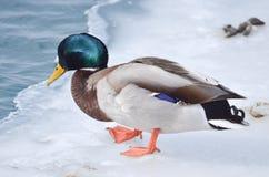 在冰的一只公野鸭 库存图片