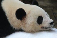 在冰的一只睡觉熊猫 库存照片