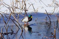 在冰的一只鸭子 免版税库存照片