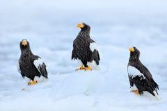 在冰的三只老鹰 Widlife日本 Steller ` s海鹰, Haliaeetus pelagicus,与抓住鱼的鸟,与白色雪,北海道, J 免版税库存照片