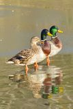 在冰的三只鸭子 免版税库存图片