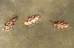 在冰的三片橡木叶子在一条冻河 免版税库存照片