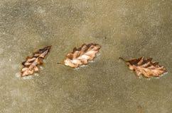 在冰的三片橡木叶子在一条冻河 库存图片
