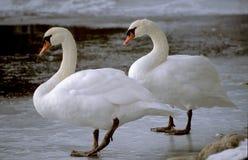 在冰的两只天鹅 图库摄影