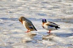 在冰的两只鸭子 图库摄影