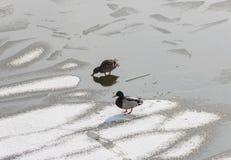 在冰的两只鸭子 库存照片