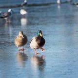 在冰的两只鸭子 免版税库存照片