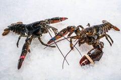 在冰的两只龙虾爬行 免版税图库摄影