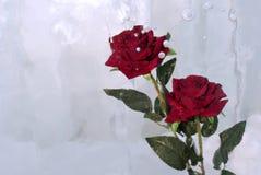 在冰的两朵玫瑰 库存图片