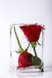 在冰的两朵玫瑰 免版税库存照片