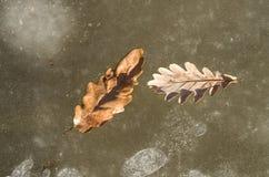 在冰的两片橡木叶子在一条冻河 库存照片