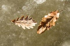 在冰的两片橡木叶子在一条冻河 免版税库存图片