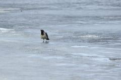 在冰的乌鸦 图库摄影