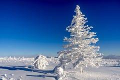 在冰的云杉 免版税库存照片