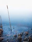 在冰的共同的纸莎草 库存照片