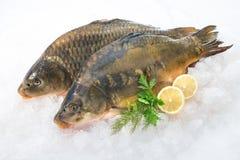 在冰的共同的鲤鱼鱼 免版税库存图片