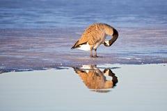 在冰的加拿大鹅 图库摄影